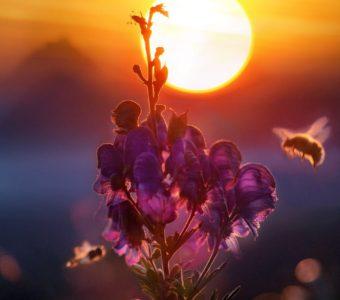 лилаво-цвете-на-залез-с-пчела