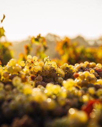 чепки събрано грозде снимани отблизо